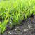 Strni usjevi: Mineralna gnojiva za kvalitetniji rast i veće prinose