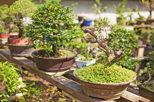 Miloš Jovančević ljubav prema bonsaiju pretvorio u biznis