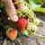 Eko trg ponovno na osječkoj tržnici: Najtraženiji proizvodi jagode OPG-a Završki