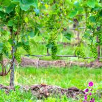 Lipanj je vrijeme za optrgavanje vinove loze - prvo krenite s rajnskim rizlingom