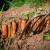 Prolećna setva šargarepe - na šta obratiti pažnju?