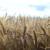 Slijedi nam solidna žetva pšenice, ali kolika će joj biti cijena?