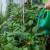Zaštitite povrće, otjerajte kukce i lisne uši jednim sredstvom - hidrogen peroksidom