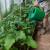 Zaštitite povrće, otjerajte insekte i lisne uši jednim sredstvom - hidrogen peroksidom