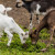 Ugibanje koza: Od 40 ostale im 22, Tatjana Lovrić Jovanović je uvjerena, krivi su herbicidi