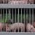 Kuterovac: Svinjogojstvu prijeti kolaps, štete bi mogle biti više od 100 milijuna eura