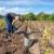 Kako obogatiti zemljište nakon vađenja krompira?