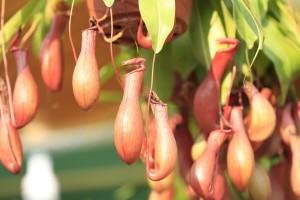 Biljke mesožderke treba zalivati destilovanom vodom ili kišnicom