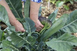 Očekuju se dobri i kvalitetni prinosi brokolija i karfiola