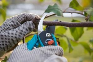 Što je cilj zelene (ljetne) rezidbe voćaka?