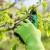 Rezidba kruške: Formirati stablo koje se u punoj rodnosti ne povija
