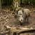 Afrička kuga svinja se vratila u Srbiju