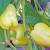 Rezidba paprike: Kod bujnih sorata dobar je uzgoj na dvije grane