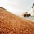 Drastičan skok cijene kukuruza: Prošle godine oko 85 lipa, sada 1,5 kn/kg