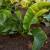 Ren: Lekoviti koren vadi se krajem jeseni - zdrav i svež i kao prerađen