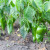 Organski hidrogel - štedi vodu za navodnjavanje i služi kao zaštita usjeva od suše