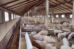 Dozvoljena gradnja farmi u blizini gradova? U Kini će uzgajati 200 miliona svinja