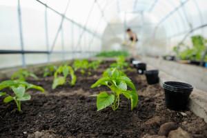 Što je sve potrebno obaviti prije sjetve presadnica paprike?