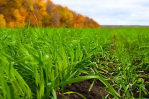 Kvalitetno odradite jesensku gnojidbu za dobru kondiciju ozimih žitarica