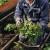 """Prije sadnje jagoda mjesečarki dobro usitnite tlo, tako da noga """"utone"""" u njega"""