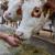 Zaječar ulaže u poljoprivredu - najviše u stočarstvo kroz subvencije