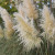 Pampas trava - jedinstvena atrakcija za dvorište bez puno brige