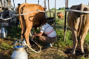 Ugrožene male farme: Najveći američki proizvođač mleka proglasio bankrot?