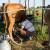 Ugrožene male farme: Najveći američki proizvođač mlijeka proglasio bankrot?