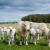 Kako uspješno uzgajati tovna goveda