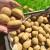 Kako spriječiti pojavu crnih gomolja krumpira?