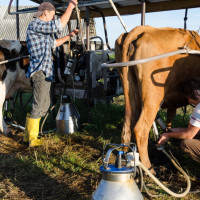 Smanjen izvoz svježeg mlijeka u Italiju - korona dobro došla proizvođačima parmezana