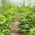 Popravite plodnost tla u plasteniku plodoredom, sjetvom mahunarki i žita
