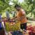 Fali na stotine radnika: Voćari iz Hercegovine traže sezonce