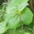 Uzgojite jednostavno japanski lopuh - zdravo povrće i ukrasnu biljku