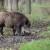 Afrička kuga u Vršcu - sumnja se da je uginula divlja svinja stigla iz Rumunije