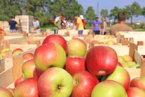 Jeste li znali da se 2/3 plantaža voća u EU nalaze u tri države?
