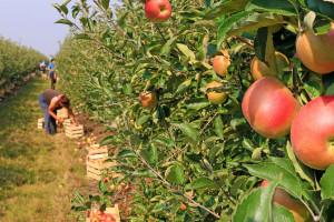 Jabuke globalno podbacile: Proizvodnja manja zbog loših vremenskih uvjeta. A cijene?