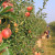 Otpornost tradicionalnih voćnih vrsta postaje važnija od mjerenja kilograma po stablu