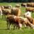 Pašalić: Zagarantovana cijena od 3,9 KM za kilogram žive vage