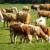 Sledeće godine veće subvencije za stočare, vinare i organsku proizvodnju