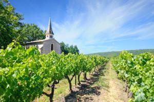 Vinogradari protiv suše - setvom leguminoza i novim sortama