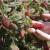 Tayberry: Križanac između maline i kupine - odličan za hobi voćare