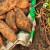 Kraj kolovoza je pravo vrijeme za vađenje batata
