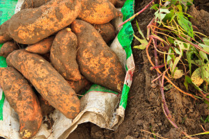 Vrijeme je za sadnju batata - uspjeh počinje dobrom sadnicom
