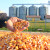 Sušara u stečaju nudi mogućnost čuvanja kukurza, po kojoj cijeni?