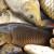 Kako do potpore za štete od ptica i ostalih životinja na šaranskim ribnjacima?