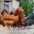 Potvrđen ptičji grip na Kosovu i Metohiji