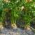 Kako zaštititi celer u jesenjem periodu