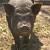 Bejbi Džejn je najstarija svinja na svetu - ima 23 godine