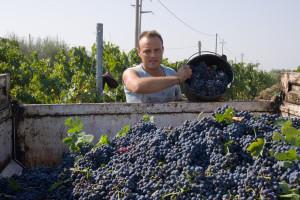 Savjeti stručnjaka: Čuvanje stolnog grožđa